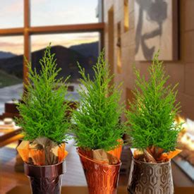holiday trees indoor potted plants european pines rocket