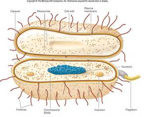 Bacterium Cell Structure