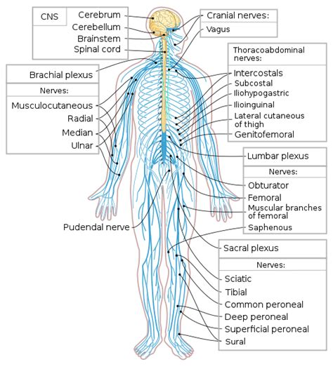 (a) afferent or sensory nerves which carry the information from inside and on the surface of the individual and relay the same to the central nervous system. File:Nervous system diagram-en.svg - Wikimedia Commons