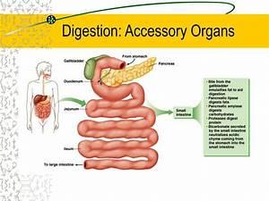 Ppt - Digestion Powerpoint Presentation