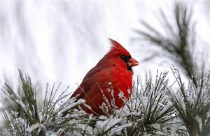 Pair Of Cardinals In Snow - wallpaper.