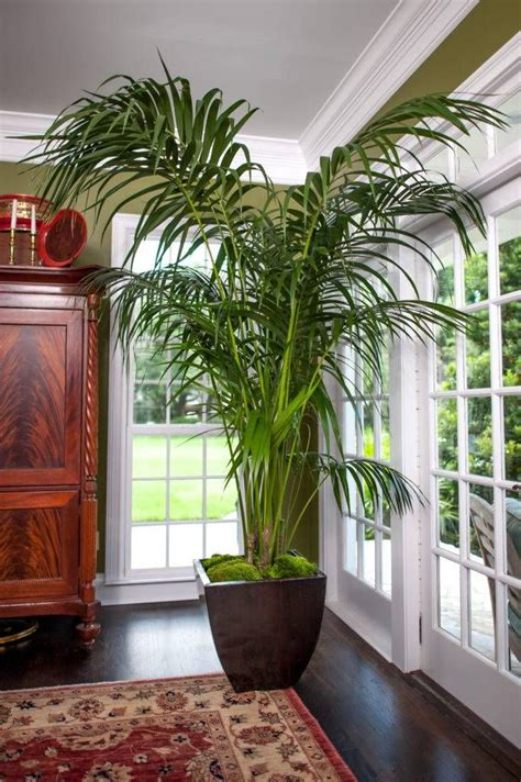kentia palm large high quality tropical plants shipped