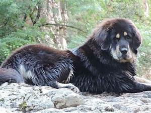 How To Read A Control Chart Growth Tibetan Mastiff Puppy Weight Chart Tibetan Mastiff