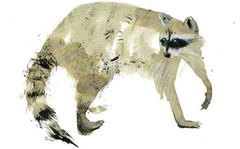 owning a raccoon growing up is hard to do never mind the teeth and claws aeon essays