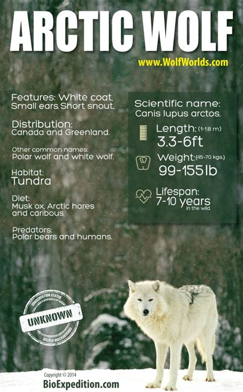 arctic wolf infographic animal facts  information