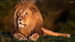 Lion Pictures HD Wallpapers Lion | Animal Photo