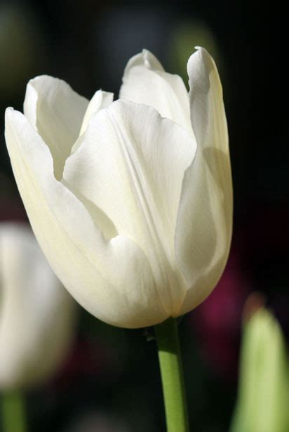 white tulip flower  stock photo public domain pictures