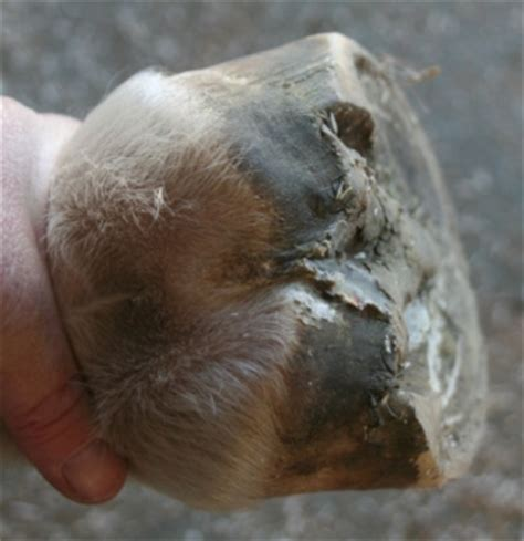 Frog Shedding Problems by Healthy Hoof