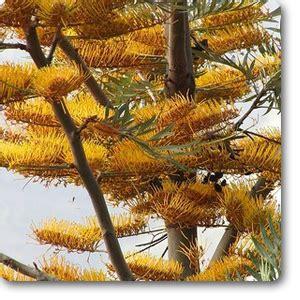 buy silver oak silk oak grevillea robusta plant