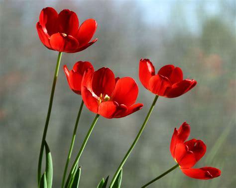 bicchieri tulipano sfondi fiori rosso tulipani bicchiere fiore