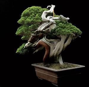 masahiko kimura sargents juniper juniperus chinensis With feuerstelle garten mit bonsai 500 years old