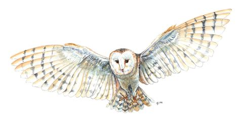 flying barn owl drawing flying barn owl drawing www imgkid the image kid