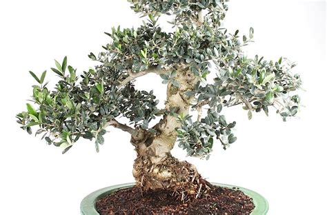 culture de l olivier en pot fiche bonsai archives arbre en pot