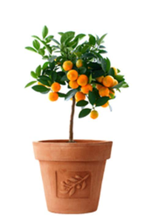quel arbre en pot arbre fruitier en pot vari 233 t 233 s et prix des arbres fruitiers en pot