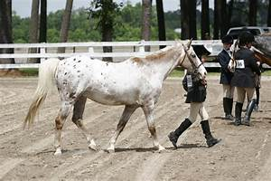leopard pony of the americas POA show pony by ...