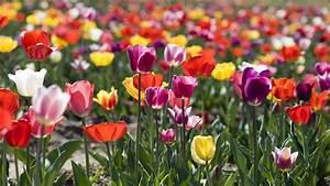 Tulpen Im Garten : tulpen sorten freizeit verbraucher wdr ~ A.2002-acura-tl-radio.info Haus und Dekorationen