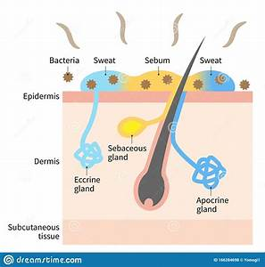 Diagram Of Body Odor And Sweat Glands  Human Skin Layer