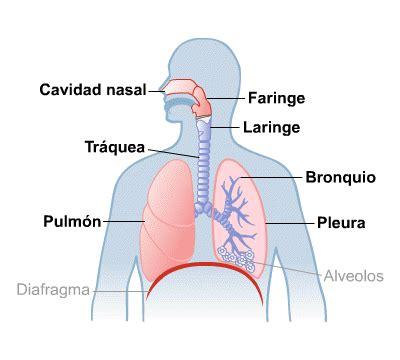pulmon  vias respiratorias medlineplus en espanol