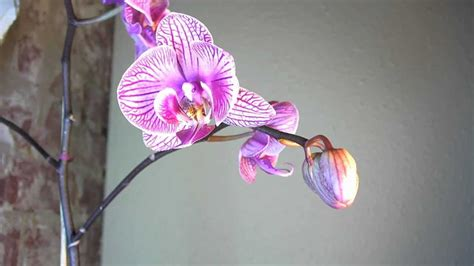 how can i get my orchid to bloom again top 28 how to make my orchid bloom how to make orchid bloom again tips get orchids to bloom