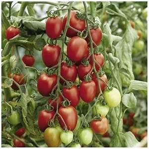 Planter Graine Tomate : graines tomate cocktail 39 prune rouge 39 ~ Dallasstarsshop.com Idées de Décoration