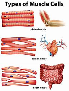 Human Body Muscles  Functions  Classification And Significance