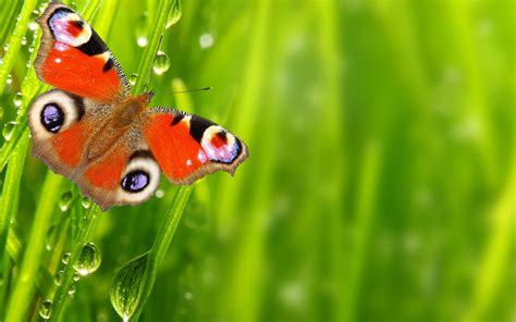 wallpaper butterfly drops spring green  animals