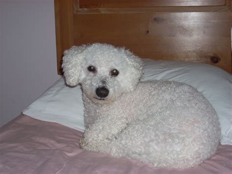 Do Bichon Poodles Shed by Dogs 101 Yorkie Poo Picture Breeds Picture