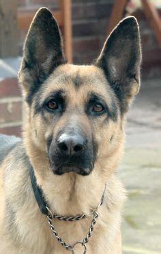 romanian raven shepherd dog ciobanesc romanesc corb