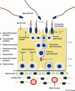 Spermatogenesis  Current Biology