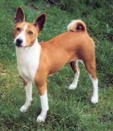 basenji photographs dogbreedworld com