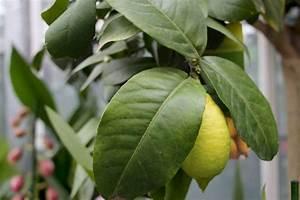 Dünger Für Zitronenbaum : zitronenbaum wird gelb und verliert bl tter ursachen und ~ Watch28wear.com Haus und Dekorationen