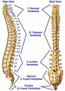Spine  Spinal Column  Or Vertebral Column
