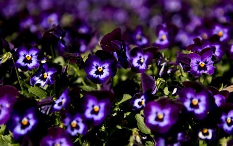 pansy wallpapers pictures images