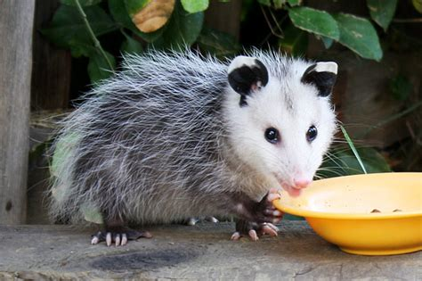 Possum Backyard by Opossum Images