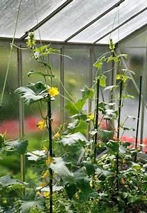 Tomaten Und Gurken Im Gewächshaus : salat gurken auss en und anbauen garten ~ Frokenaadalensverden.com Haus und Dekorationen