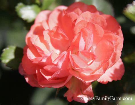 knockout roses drift rose bush  sale ga kinsey family