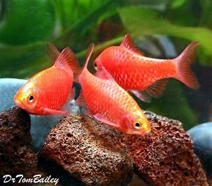 Neon Rosy Barbs Featured item neon rosy barb fish