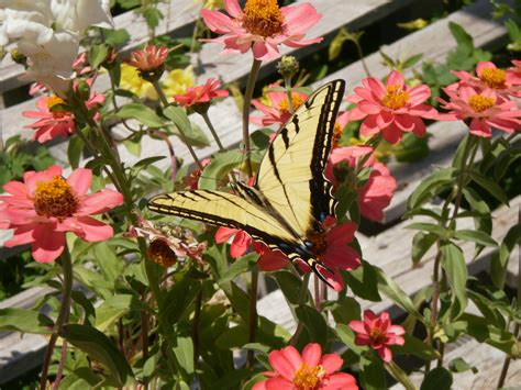 butterfly garden plants butterfly gardens for colorado perennial favorites