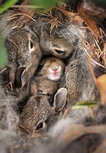 Wild Baby Bunny Nest