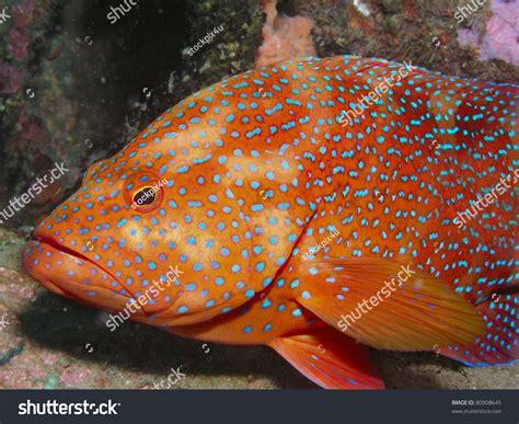 grouper spotted miniata cephalopholis shutterstock