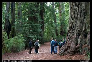 Picture/photo (Redwoods): Tourists amongst redwood trees ...