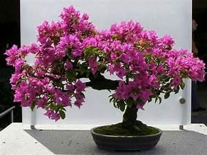 Plante Detoxifiante : bonsa bougainvillier bonsa japanese garden ~ Melissatoandfro.com Idées de Décoration