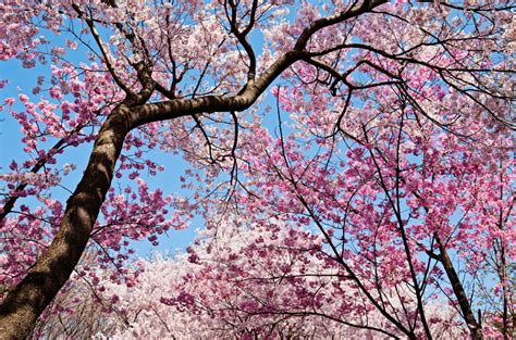 cherry blossom tree l 10 strange myths that came out to be true and we aren 39 t