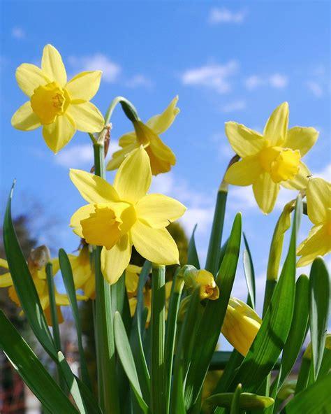 daffodils  jigsaw puzzles