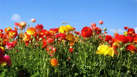 Carlsbad Flower Fields Free Viewing Area No Admission Fee