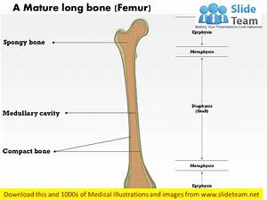 A Mature Long Bone Medical Images For Power Point
