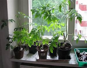 Gurken Und Tomaten Zusammen Im Gewächshaus : sieben alte tomatensorten erfolgreiche anzucht das ~ A.2002-acura-tl-radio.info Haus und Dekorationen