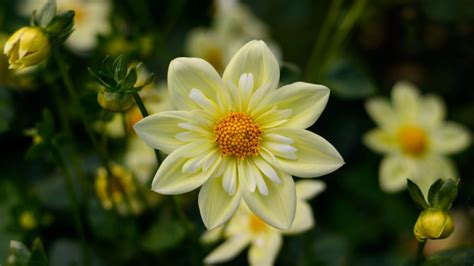 dahlia yellow flowers high quality flower wallpaper