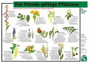 Welche Pflanzen Sind Nicht Giftig Für Katzen : f r pferde giftige pflanzen ~ Eleganceandgraceweddings.com Haus und Dekorationen