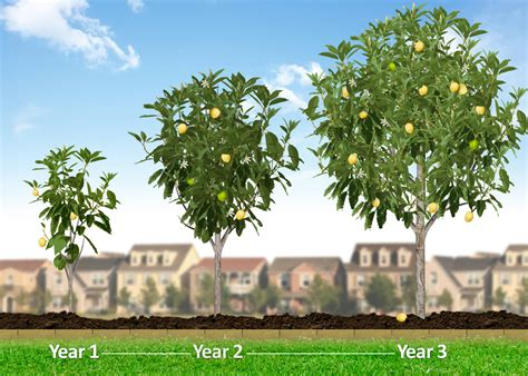 how does a tree take to grow hass avocado trees hass avocado trees for sale for sale fast growing trees